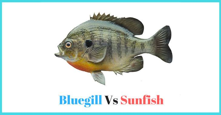 What Is The Difference Between Bluegill Vs Sunfish 00000